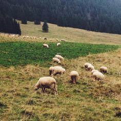 Sheepworld, Poland