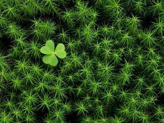 Moss Musings: Irish Moss - perennial, algae, Jamaican drink, but ...