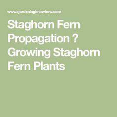 Staghorn Fern Propagation ? Growing Staghorn Fern Plants