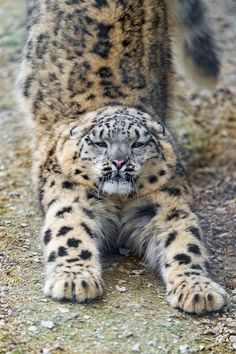 Stretching Snow Leopard - by Emmanuel Keller - Big Cats Crazy Cats, Big Cats, Cool Cats, Cats And Kittens, Nature Animals, Animals And Pets, Cute Animals, Animals Images, Wild Animals