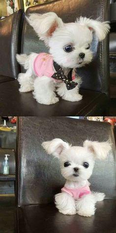 Tea cup puppy