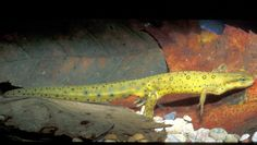 Notophthalmus viridescens - Red Spotted Newt -- Sighted: New York, etc.