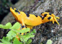 Atelopus zeteki, Panamanian Golden Frog, in habitat. IUCN Redlist: Critically Endangered. Provincia Cocle', Panama.   Flickr - Photo Sharing!