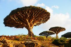 Dragon's Blood Tree, Socotra, Yemen - a very-unnatural looking umbrella-shaped tree which produces red sap.