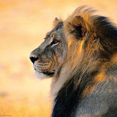 Er ist der fabelhafte König der Tiere, aber auch ein Faulpelz: der männliche Löwe schaut zu, wenn seine weiblichen Rudelmitglieder in der afrikanischen Savanne auf Jagd gehen. An der erlegten Beute freilich ist er der erste, der frisst – Diese Karte hier online kaufen: http://bkurl.de/pkshop-212013 Art.-Nr.: 212013 König der Tiere | Foto: © Nicole Duplaix | Text: Rolf Bökemeier