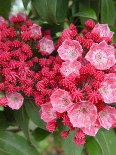 Kalmia latifolia 'Sarah' Sarah Mountain Laurel from Moose Crossing Garden Center