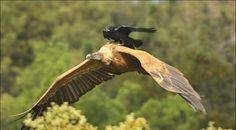 Understanding an alien intelligence: Generalizations from the crow ...