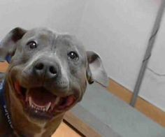 PINKY is an adoptable Pit Bull Terrier Dog in Martinez, CA.  ...