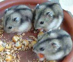djungarian hamster - Google Search
