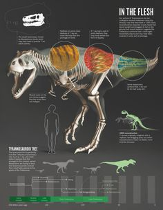 THE TRUTH ABOUT T.REX Background: Even one of the best known dinosaurs has secrets. (We all want to know: why the puny arms?) Scientists are...