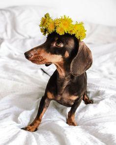 Újra itt a kis tavasztündérünk, ha lehetne egy kívánságod, te mit kívánnál tőle? 🧚💐 Tolkien, Instagram Feed, Dogs, Animals, Animales, Animaux, Pet Dogs, Doggies, Animal