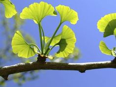 Ginkgo Biloba (Liquid) is a Herb often used in Medicine. Ginkgo has a wide range of uses and can be found in treatments ranging from Alzheimer's Disease, skincare Bonsai, Ginko Tree, Gingko Leaf, Vitamins For Anxiety, Maidenhair Tree, Living Fossil, Tree Sale, Stroke Recovery, Herbalism