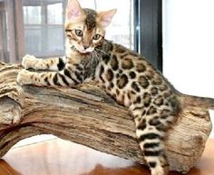 Domestic+Bengal+Cats | bengal cat #leopard print kitty