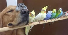 Un perro de la raza golden retriever entra en una habitación con ocho pájaros y un hámster. ¿Qué pasa después? Puede parecer la primera parte de un chiste malo, pero no, no lo es: es una situación rea...