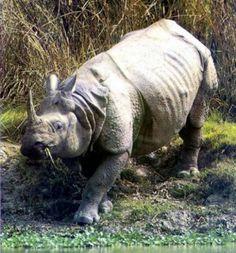 Octobre 2011: Le rhinocéros de Java a été traqué et chassé jusqu'au bout, jusqu'à la mort de son dernier représentant retrouvé avec la corne coupée, dans le parc national de Cat Tien au sud du pays.
