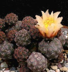 puna Luis Bru cactus