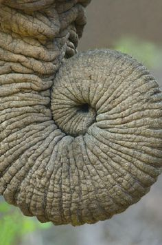 Africa | Close-up of an African elephant's trunk, Ngorongoro Crater, Arusha Region, Tanzania |