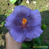 Moorea Blue Arina x Taiwan Kahlua Taiwan Hibiscus - Linda Lee Blue Hibiscus, Hibiscus Plant, Hibiscus Flowers, Tropical Flowers, Taiwan, Orchids, Flora, Exotic, Plants