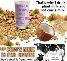 Cow's milk is for calves.