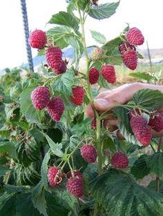 Die 22 Besten Bilder Von Gemuse Obst Pflanzen Vegetable Garden