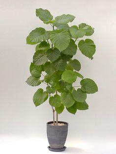 フィカス ウンベラータ Potted Trees, Potted Plants, Indoor Plants, Indoor Garden, Garden Pots, Plant Pictures, Interior Plants, Foliage Plants, Growing Plants