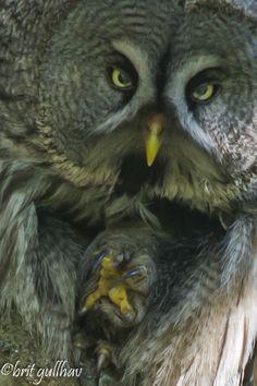 Lappugle Strix nebulosa Hedmark 2013 Saw Whet Owl, Strix Nebulosa, Carnivore, Great Grey Owl, Owl Eyes, Gray Owl, Birdcages, Night Owl, Birds Of Prey