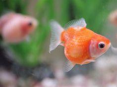 Goldfish (ping pong variety).