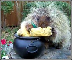 Teddy the talking porcupine! I love him!  http://www.coolestone.com/media/3585/Teddy-Bear-the-Porcupine039;s-Pot-of-Gold/