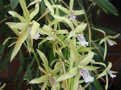 Orquídeas de Misiones: Miltonia flavescens Lindley