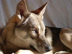 Saarloos wolfdog.