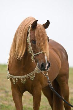 Arabian Horse Arabian Horse Show - Western Competition Egyptian Stallion Breeding PIntabians~ Most Beautiful Animals, Beautiful Horses, Beautiful Creatures, Horse Pictures, Animal Pictures, Animals And Pets, Cute Animals, Wild Animals, Akhal Teke