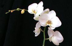 """Orquídea. Fotografía de Isabel de las Heras participante del concurso """"La flor de la semana"""" del 23 de septiembre de 2013 #concurso #fotografía #flores"""