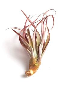 Amazon.com: Shop Succulents | | Large Tillandsia Capitata Peach Air Plant, Hand Selected for Size, Health, Readiness | Collection of 8, Pack of 8: Garden & Outdoor Epiphyte, Air Plants, Outdoor Gardens, The Selection, Succulents, Peach, Amazon, Shopping, Collection