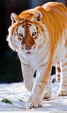 Maestosa tigre d'oro immaginidivertenti.org