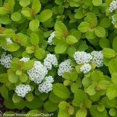 Glow Girl® - Birchleaf Spirea -  Corner bed, where butterfly bush was - deer, + hummingbirds