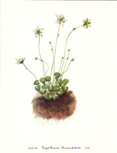 Flower Print Fringed Parnassia Vintage Art by VickiesBeachHouse