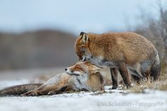 Foxes cuddling in the snow by mschaeferfotografie #animals #pets #fadighanemmd