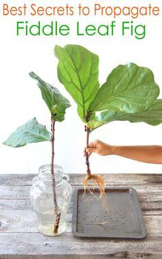 Ficus Lyrata, Indoor Garden, Indoor Plants, Fiddle Leaf Fig Tree, Inside Plants, House Plant Care, House Plants Decor, Fig Leaves, Plant Cuttings