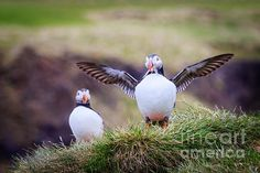 Adorable Puffins! by Silken Photography