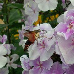 Hummingbird moth on phlox