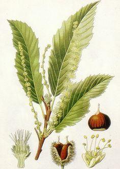 Châtaignier ou Arbre à Pain (Castanea Sativa – famille des Fagacées – originaire d'Italie)
