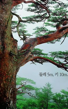 노송 소나무^^ Cool Landscapes, Landscape Paintings, Tree Bark, Chinese Painting, Beautiful Places To Visit, Tree Of Life, Japanese Art, Surface Design, Drawings