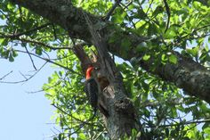 Red breasted woodpecker building a nest in my backyard May 2016