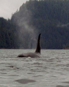 Southeast Sea Kayaks' Blog — Kayaking with Orcas www.kayakketchikan.com