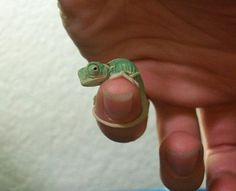Look at the tiny chameleon!