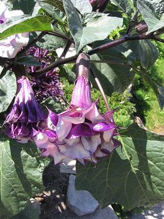 50pcs Purple Datura Seeds Brugmansia Angel Trumpets Flower Seed Bonsai Seeds by SeedByTrizzy on Etsy https://www.etsy.com/listing/446626596/50pcs-purple-datura-seeds-brugmansia