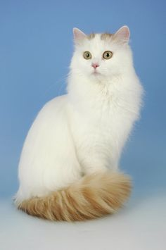 34280ee62fdd8e Turkish Van Cat - the eyes are large and oval. The eye color is either  amber