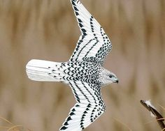 GYRFALCON (Falco rusticolus) - The largest falcon in the world, the Gyrfalcon breeds in arctic and subarctic regions of the northern hemisphere. It preys mostly on large birds, pursuing them in breathtakingly fast and powerful flight.