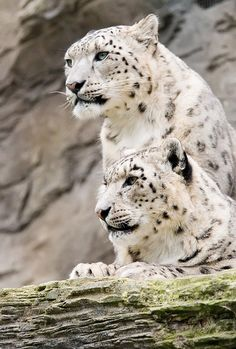 Snow leopard couple By Ghazghul (Andrew Potter) via Flickr