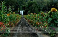 An amazing driveway thickly lined with sunflowers and zinnias leads to the house which is surrounded by vineyards…the owners explained all the flowers are planted as seeds! Don't miss the smiley face sunflower on the right Outside Living, Natural Life, Zinnias, Wine Country, Sunflowers, Smiley, Exterior Design, Outdoor Spaces, Vineyard